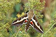 Bedstraw Hawkmoth - Hyles gallii