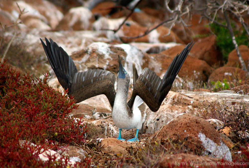 South America, Ecuador, Galapagos Islands. The Blue-footed Booby on North Seymour Island of the Galapagos, in a mating posture.