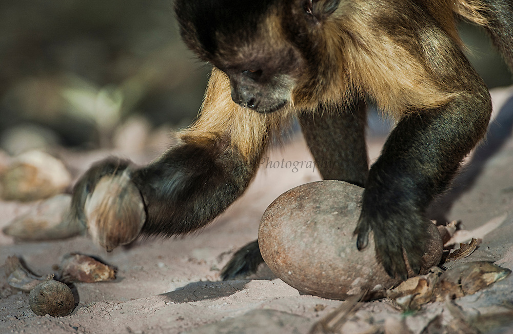 "Brown Capuchin Monkey - ""Tool using"" Placing the nut<br /> Cebus apella<br /> Cerrado Habitat<br /> Piaui State, BRAZIL. South America<br /> Range: Various habitats throughout South America<br /> Cracking palm nut from ( Atalea funifera) with rock<br /> ""FIRST INTERNATIONALLY PUBLISHED RECORD OF NEW-WORLD PRIMATES USING TOOLS IN THE WILD"""
