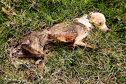 16 Jan, 2006. New Orleans, Louisiana. Post Katrina aftermath.<br /> Sick puppy. A dead dog lies rotting in the grass in the 9th ward.<br /> Photo; Charlie Varley/varleypix.com