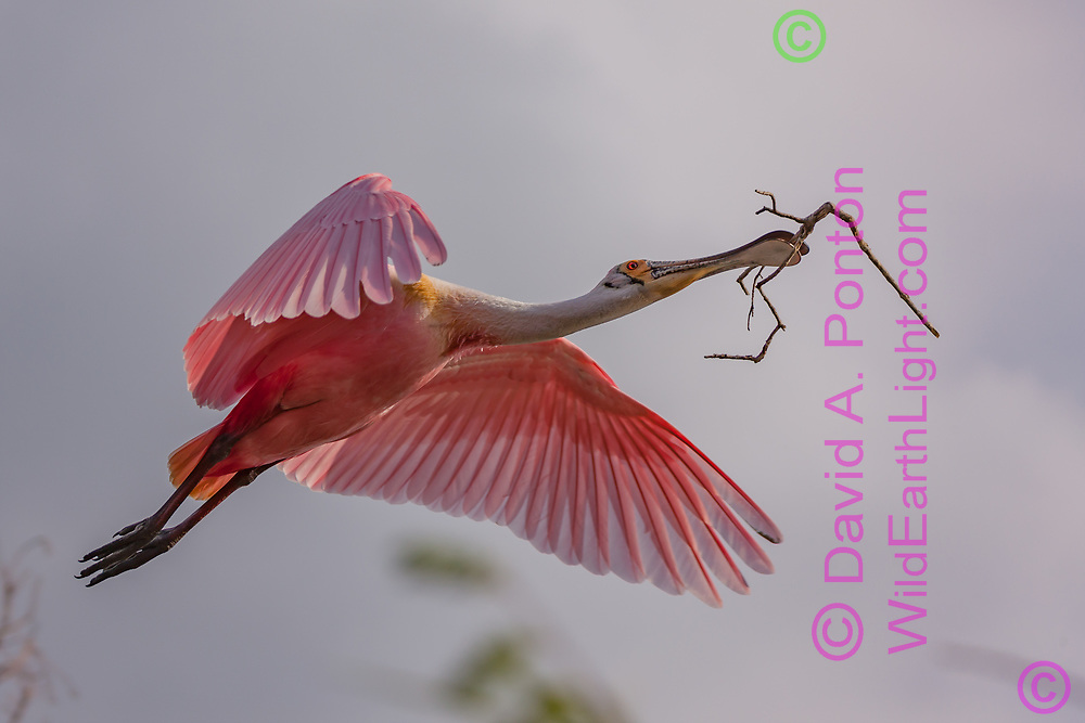Roseate spoonbill in flight carrying a stick for nest construction, Florida, © David A. Ponton
