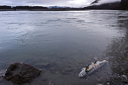A dying chum salmon (Oncorhynchus keta) lies in the Chilkat River in the Alaska Chilkat Bald Eagle Preserve along the Chilkat River near Haines, Alaska. During late fall, bald eagles congregate along the Chilkat River to feed on salmon. This gathering of bald eagles in the Alaska Chilkat Bald Eagle Preserve is believed to be one of the largest gatherings of bald eagles in the world.