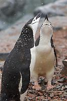 Chinstrap Penguins (Pygoscelis antarctica).  Hydruga Rocks, Antarctica.