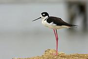 Salinas - Monday, Jan 14 2008: Black-necked Stilt stands on the side of a salt lake just outside Salinas, Ecuador. (Photo by Peter Horrell / http://www.peterhorrell.com)