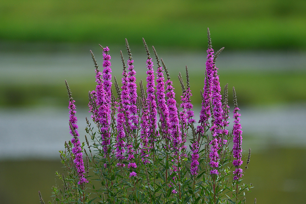 Purple Loosestrife, Lythrum salicaria, found in Wu Ying District Nature Reserve, near Yichun city, Heilongjiang Province, China