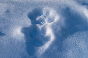 Canada lynx tracks in snow