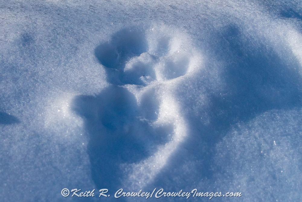 Canada lynx tracks in snow