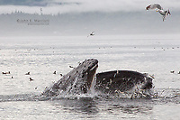 Humpback whale feeding on the west coast of British Columbia, Canada