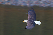 An adult bald eagle (Haliaeetus leucocephalus) flies low over the Squamish River in Brackendale, British Columbia, Canada.