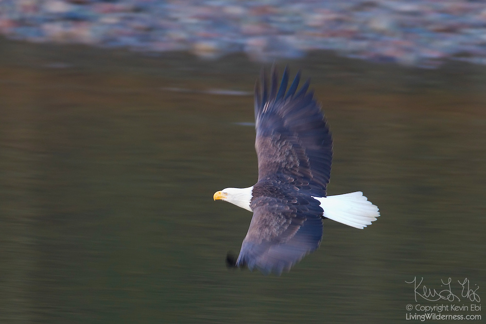 An adult bald eagle (Haliaeetus leucocephalus) flies low over the Squamish River in Brackendale, British Columbia, Canada.