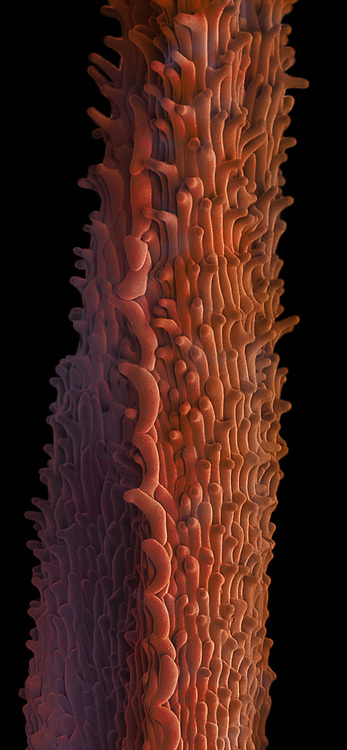 The stigma of Cannabis sativa. The stigma is the structure on the female flower that catches the male pollen. The sexual transfer of genetic materials is critical for creating seeds.  This Scanning Electron Microscope image (SEM) has false color applied. The stigma is 1 mm in diameter in this image.