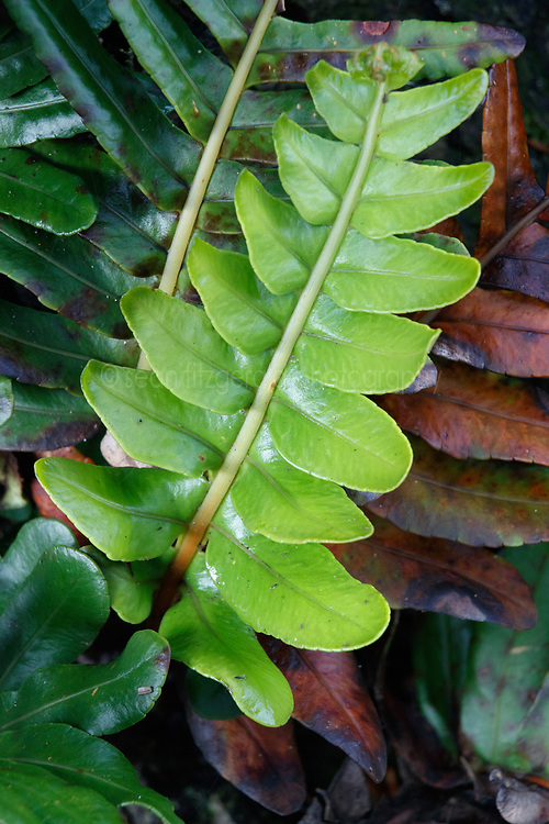 Green leaves, Crescent Beach, Ecola State Park, Oregon, USA.