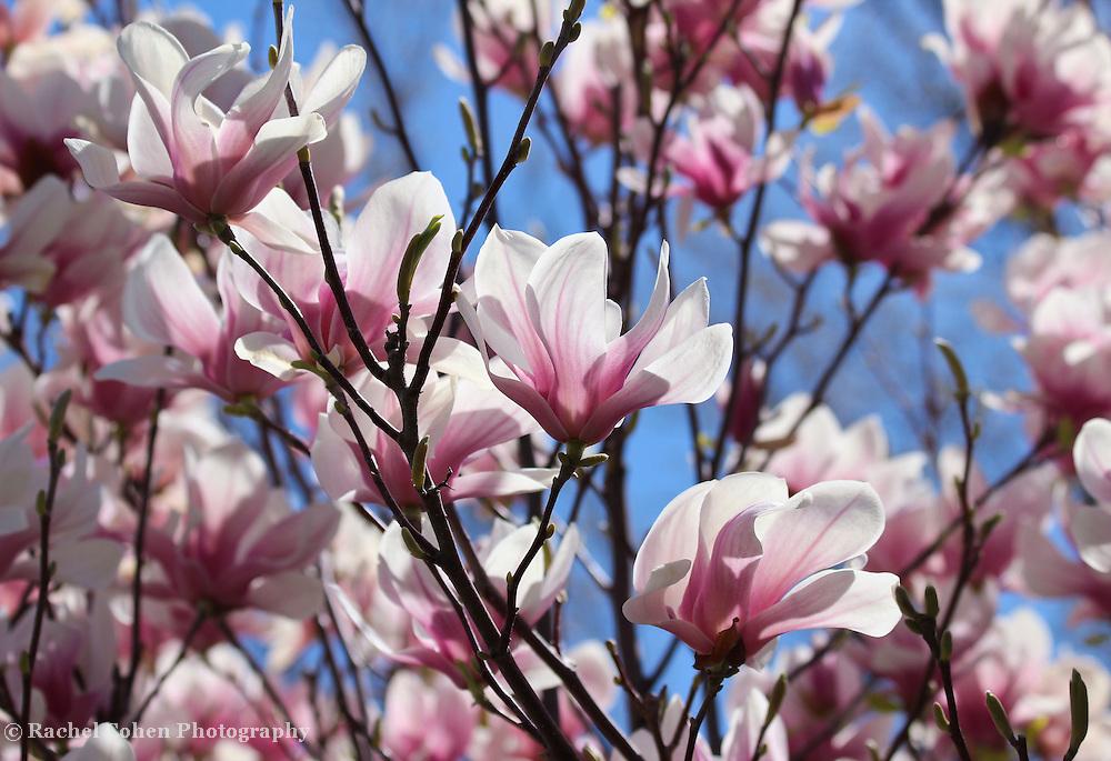"""Tulip Magnolia"" 2<br /> <br /> Beautiful Tulip Magnolia Blossoms in springtime!!<br /> <br /> Flowers by Rachel Cohen"