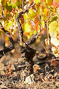 old vine schist soil autumn colours vineyard quinta do infantado douro portugal