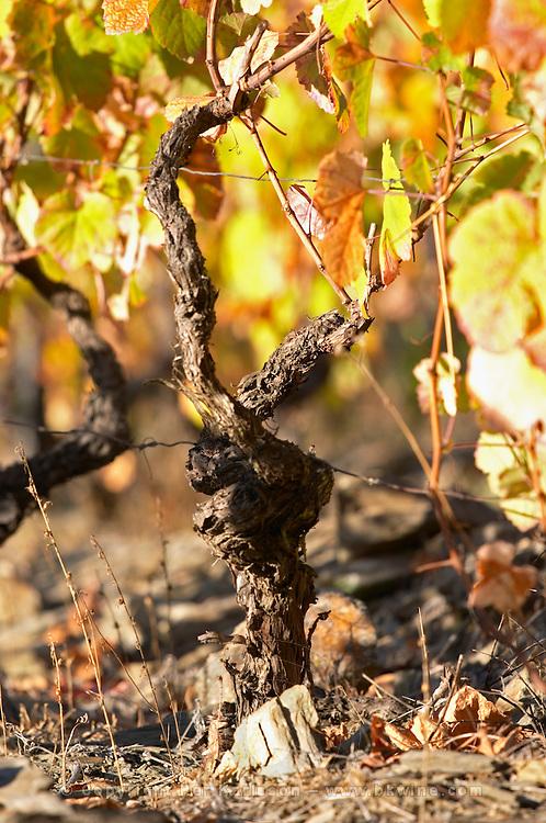 old vine schist soil autumn colours vineyard quinta do infantado douro portugal