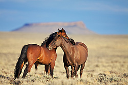 Wyoming Mustangs scratche each others back on the desert, Pilot Butte in the background