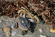 ghost crab, Ocypode quadrata, scavenges dead hatchling of loggerhead sea turtle, Caretta caretta, on nesting beach,<br /> Juno, Florida, USA ( Western Atlantic  )