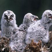 Great Gray Owl (Strix nebulosa) nest full of young chicks.  Montana.