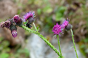 Italian thistle (Carduus pycnocephalus) AKA Italian plumeless thistle, and Plymouth thistle. Photographed in Stubaital, Tyrol, Austria in September