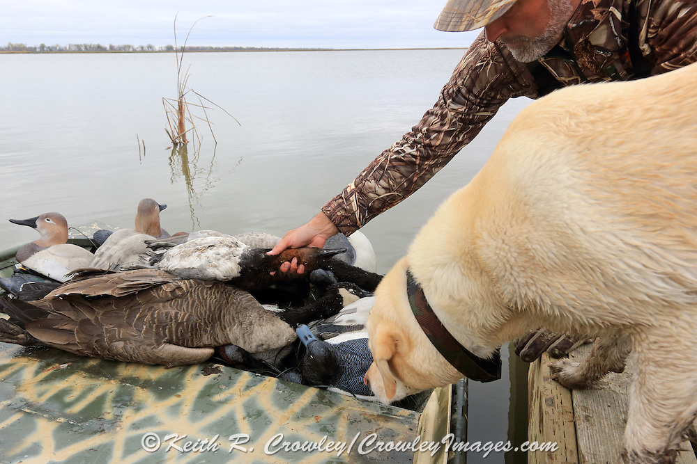 Unloading the boat following a successful morning hunt on a Manitoba marsh.