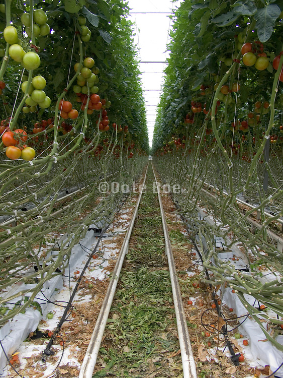 nutrient fed tomato plants growing in rockwool blocks in large commercial glasshouse