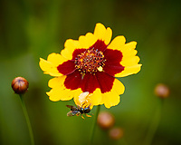 Ghostly White Spider Catches a Fly (or Bee) on a Coreopsis Flower. Backyard Summer Nature in New Jersey. Image taken with a Nikon 1 V3 camera and 70-300 mm VR lens (ISO 200, 300 mm, f/5.6, 1/50 sec).