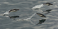 Adelie Penguins (Pygoscelis adeliae) porpoising in the Fridtjof Sound, Antarctic Peninsula.