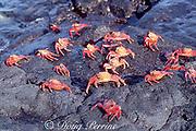 Sally Lightfoot crabs, Grapsus grapsus, James ( Santiago ) Island, Galapagos Islands, Ecuador ( tropical Eastern Pacific Ocean )