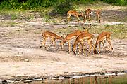 a herd of Impala ( Aepyceros melampus) at Lake Kariba along the Zambezi river, Zimbabwe