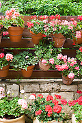 Israel, Ein Hod Artists village, pots of Geranium flowers