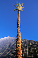 Low angle view of palm tree and Luxor Hotel at sunrise, Las Vegas, Nevada