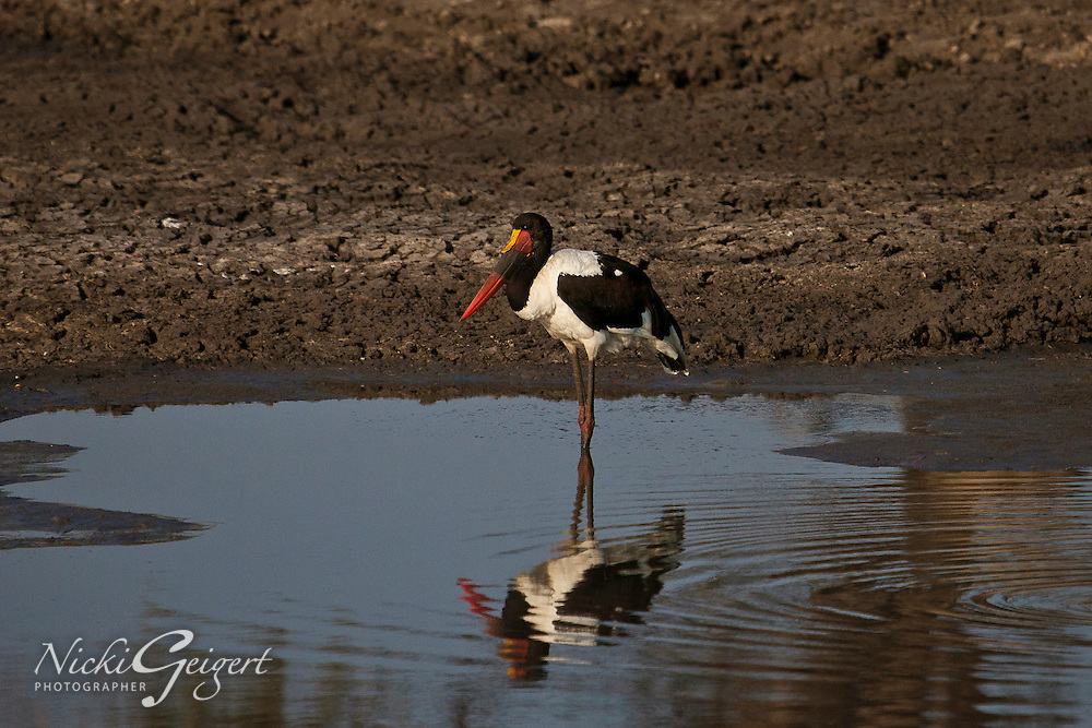 Saddle-billed stork hunting for small fish at the watering hole. Wildlife photography and stock images. Fine art photography print.