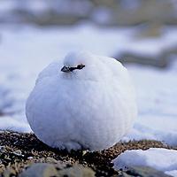 ARCTIC PTARMIGAN camouflaged in snow in Advent Valley, Spitsbergen, Norway.