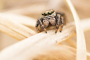 Jumping spider (Salticus scenicus?) on heathland border. Chobham Common, Surrey, UK.