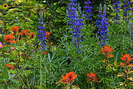 Lupine and Indian Paintbrush wildflowers carpet the forest floor in the Stillwater State Forest near Whitefish, Montana, USA