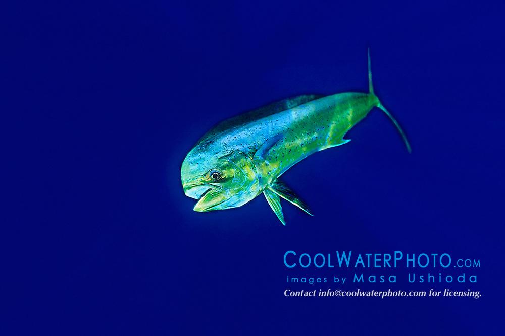 mahi mahi, dolphin fish, or dorado, Coryphaena hippurus, cow (de), Kona, Big Island, Hawaii, USA, Pacific Ocean