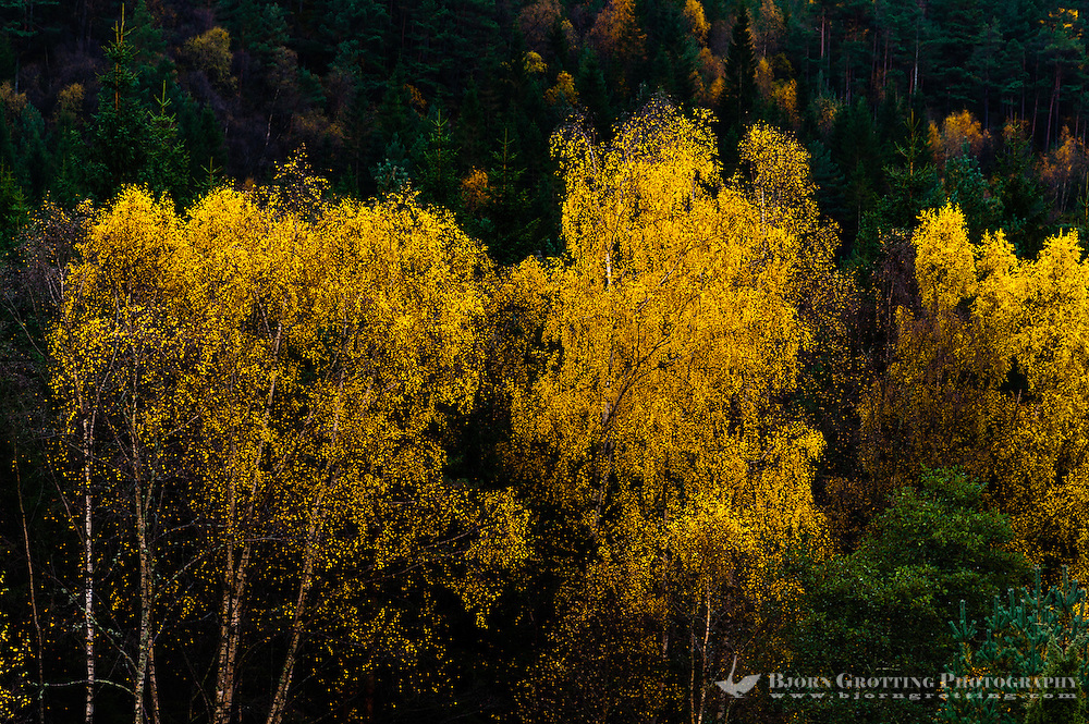 Imsvatnet, Sandnes, Norway. Colourful autumn colours, birch trees.