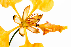 Yellow Poinciana#12
