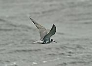 Black Tern - Chlidonias niger - Adult autumn