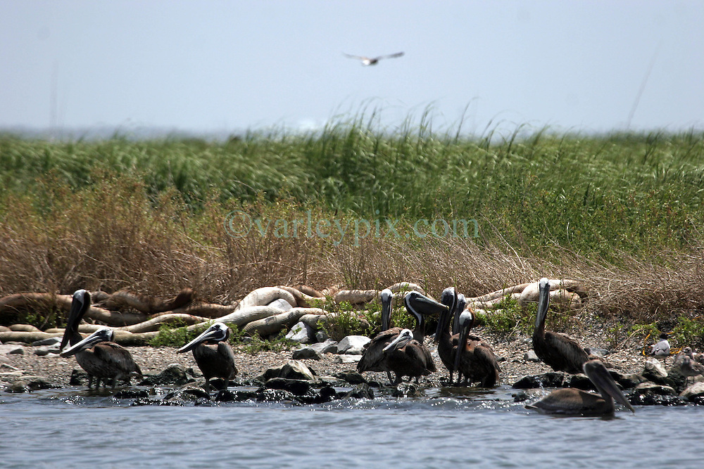 23 July 2010. Queen Bess Island near Grand Isle, Louisiana. <br /> Oil containment hard boom washed ashore in the middle of bird nesting areas on Queen Bess Island near Grand Isle. The boom itself has now become the problem as it interferes with nesting brown pelicans and other birds. Minor storms and swell easily remove the boom from flimsy moorings creating yet another problem in the region. Stakes tethering boom to the bay floor are unlikely to be removed, causing yet more obstacles for shrimp fishermen to tear their nets on when shrimping is permitted to resume. The entire area appears to be relatively clean of oil. Perhaps the area is witnessing the beginning of the end of the disaster from BP's massive oil spill in the Gulf of Mexico? It will be many years before the long term effects of the spill are known and a tropical storm or hurricane could still bring large slicks of oil ashore. <br /> Photo credit; Charlie Varley/varleypix.com