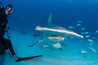 A Great Hammerhead approaches close to a diver<br /> <br /> Shot in Bahamas