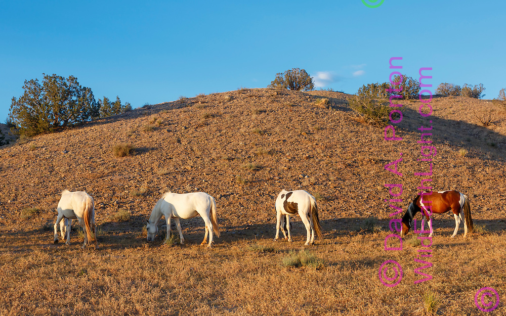 Mustangs grazing along hilly arid land in the New Mexico landscape near Placitas, © David A. Ponton