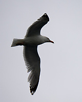 Great Black-backed Gull (Larus marinus). Viewed from the Landeyjahöfn to Vestmannaeyjar ferry. Image taken with a Nikon D4 camera and 80-400 mm VR lens