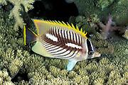 chevroned butterflyfish, Chaetodon trifascialis, night coloration, Layang Layang Atoll, Malaysia ( South China Sea )