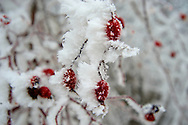 Frost crystals on Rosehips, Velem Hungary