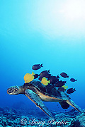 green sea turtle, Chelonia mydas, being cleaned by <br /> yellow tangs, Zebrasoma flavescens, and gold-ring surgeonfish, Ctenochaetus strigosus, Honokohau, Kona, Big Island, Hawaii, United States ( Central Pacific Ocean )