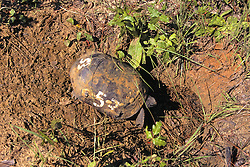 Gopher Tortoise Going Into Borrow