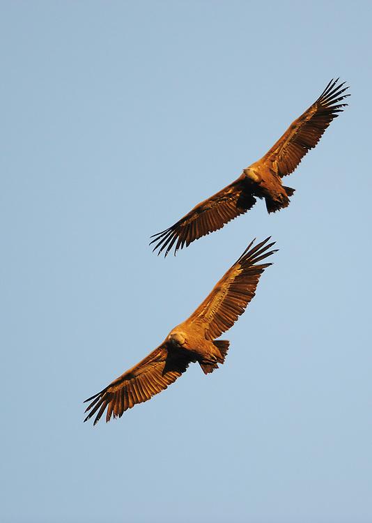 Griffon Vulture (Gyps fulvus), Monfrague National Park, Extremadura, Spain.