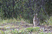 Snowshoe Hare, Lepus americanus, Savage Forest, Denali National Park, Alaska.  Digital original  ©Robin Brandt  #2007_1521
