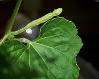 Burma Water Gourd. Image taken with a Nikon D5 camera and 80-400 mm VRII lens.